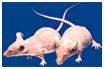 T세포 기능 결손 마우스